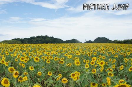 南知多の美瑛・富良野!?観光農園花ひろばのひまわり畑