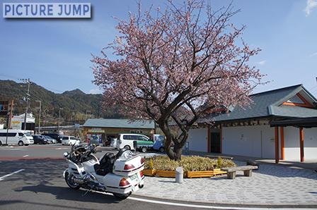 道の駅なち 緋寒桜