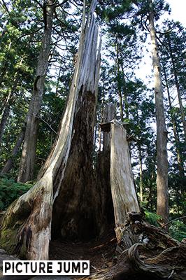杉の大木が折れた跡