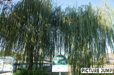 一級河川「鴨川」の看板と立派な柳