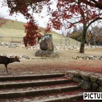 奈良公園、鹿と紅葉。銀杏の大木