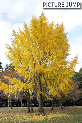 奈良公園 銀杏の大木