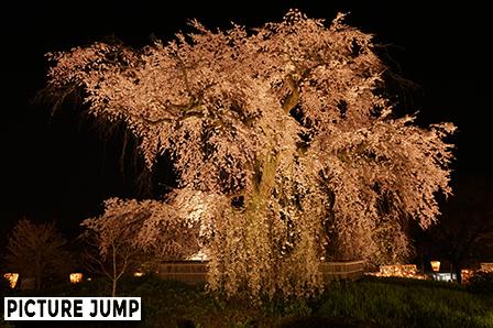 円山公園 祇園しだれ桜ライトアップ 3方向から見せる異なる姿(北側から撮影)