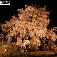 円山公園 祇園しだれ桜ライトアップ 3方向から見せる異なる姿