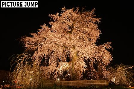 円山公園 祇園しだれ桜ライトアップ 3方向から見せる異なる姿(東側から撮影)