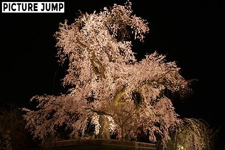円山公園 祇園しだれ桜ライトアップ 3方向から見せる異なる姿(南側から撮影)
