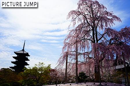 東寺・五重塔と咲き誇る立派な枝垂桜のコラボ