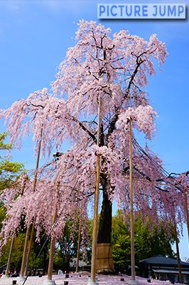 東寺・不二桜を単独撮影。散った桜がピンクの絨毯に