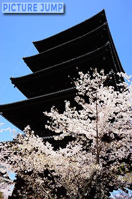 東寺・五重塔。手前に映える桜の影響で、より重厚に