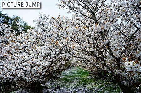 仁和寺 遅咲きの御室桜 桜のトンネル