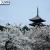 遅咲きで有名な仁和寺 御室桜。満開の桜に囲まれた五重塔