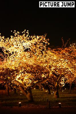 約50種・200本を超える桜の品種の多さで有名な二条城 圧巻の夜桜ライトアップ
