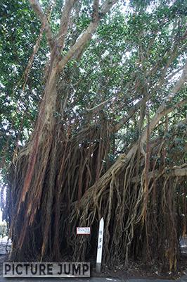 佐多岬ロードパーク駐車場ガジュマルの木