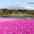 富士芝桜まつり 富士山との共演は開催期間中の天候勝負