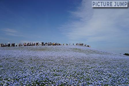 ネモフィラを見下ろそうと丘の上へと向かう人の列が続く光景
