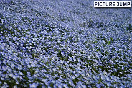 青い空の下で鑑賞する青いネモフィラの丘は絶景