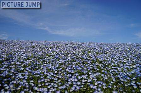 """""""死ぬまでに一度は見ておきたい""""、""""海外からも注目される日本の絶景""""と称される国営ひたち海浜公園のネモフィラの丘"""