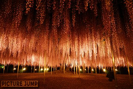 あしかがフラワーパーク 大藤まつり樹齢150年におよぶ大藤