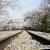 蹴上インクラインに敷かれたレールの上に桜のトンネル
