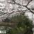 京都・哲学の道、桜満開♪白河疏水沿いに続く約2kmの散策路