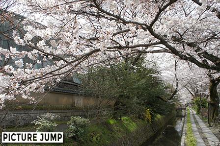 京都・哲学の道 桜並木