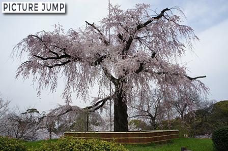 円山公園 祇園しだれ(一重白彼岸枝垂桜)樹齢約80年を数える大木