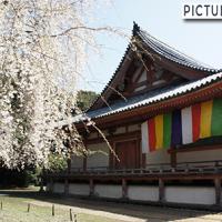 """世界遺産 京都・醍醐寺。五重塔があるのは""""伽藍エリア""""。金堂と枝垂れ桜と一緒に桜巡り"""