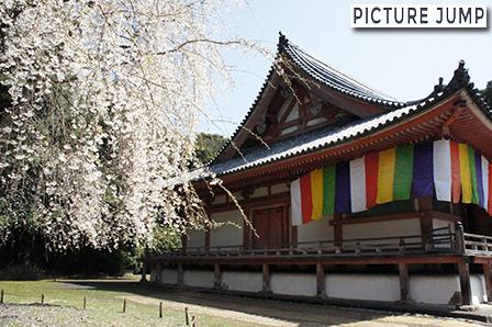醍醐寺 金堂と枝垂れ桜