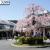 JR山科駅前ロータリーに咲く満開のしだれ桜