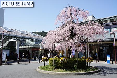 JR山科駅前ロータリーのしだれ桜(満開)