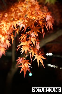 永観堂ライトアップ 光の粒が紅葉と重なり雫のよう
