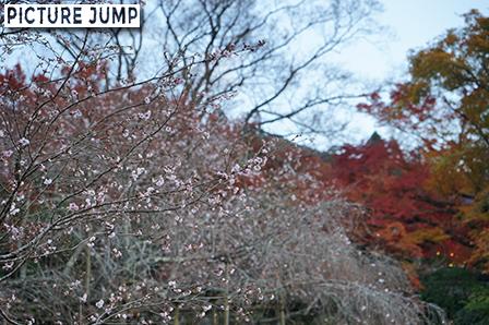 実光院  赤と黄色の紅葉を背景に、ピンクの不断桜の花びらにピントをあわせて撮影