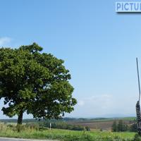 セブンスターの木 美瑛の丘の頂上付近の道端にそびえ立つ柏の木