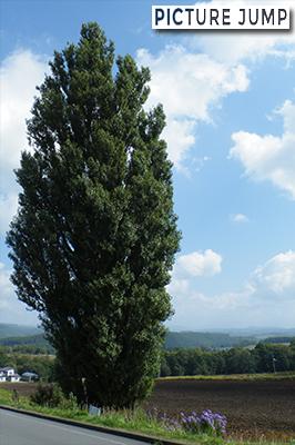 4代目スカイライン(C110型)のCMに採用されたケンとメリーの木