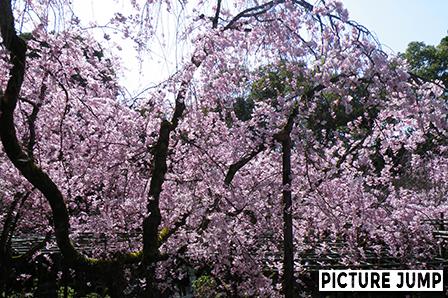 平安神宮 南神苑 八重紅枝垂桜
