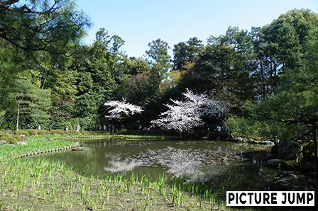 平安神宮 西神苑 白虎池に浮かぶ桜平安神宮 西神苑 白虎池に浮かぶ桜