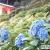 三室戸寺のあじさい園ライトアップ。1万株の紫陽花が杉木立の間に咲き並ぶ