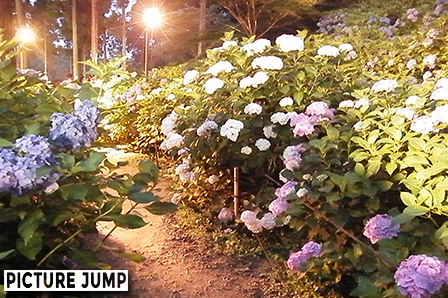 三室戸寺のあじさい園ライトアップ